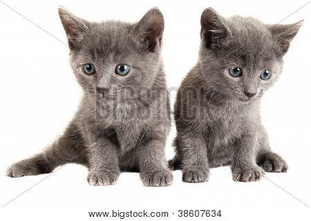 Blue Eyed Grey Kittens On White