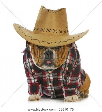 country dog - english bulldog puppy dressed up in western clothes and hat on white background