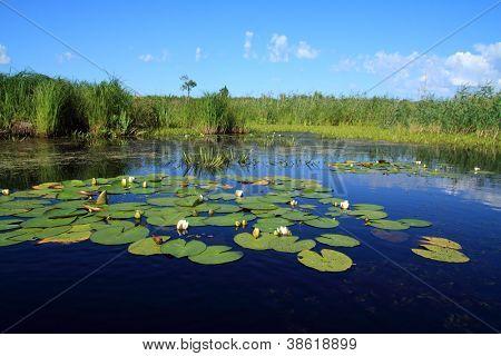 waterlelies op meertje