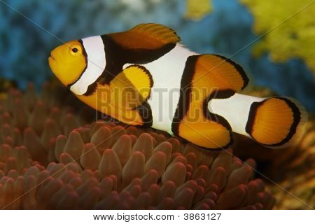 Anemonefish Clownfish