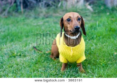 Beautiful Dwarfish Dachshund In Yellow Jacket