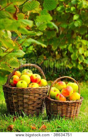 Red and yellow apples in the basket. Autumn at the Bio garden.
