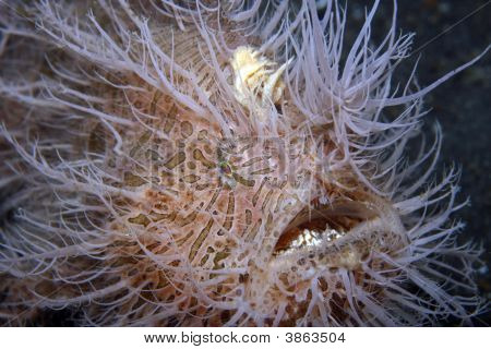 Striped Frogfish