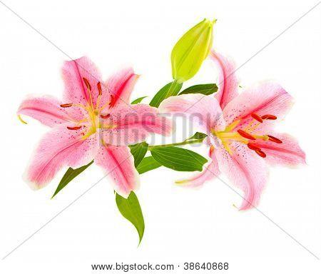 Rosa Lilien (Lilie / Lilium) isolated on White. Sorgfältig gedreht, so dass es vollständig in w schwimmt