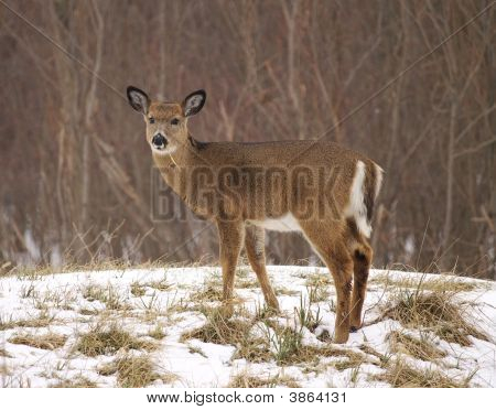 Young White-Tailed Deer In The Snow