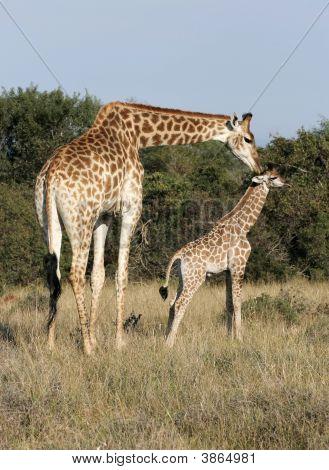 Giraffe\'S Love