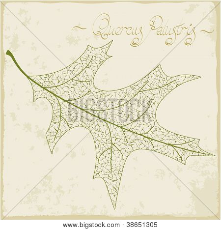 Pin oak leaf skeleton. Vector.
