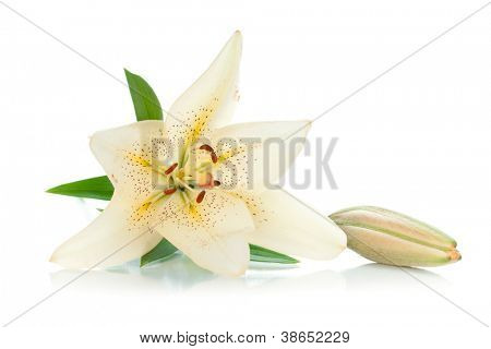 White lily with bud and green leaves. Isolated on white background
