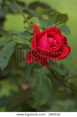 Fresh Scarlet Rose