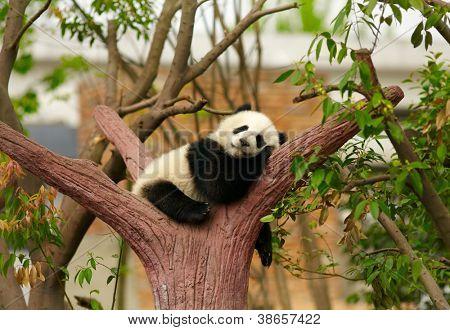 Schlafende Riesen-Panda-baby