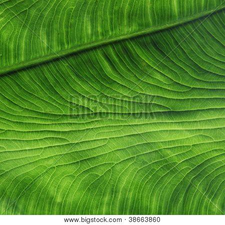 grunge leaf veins