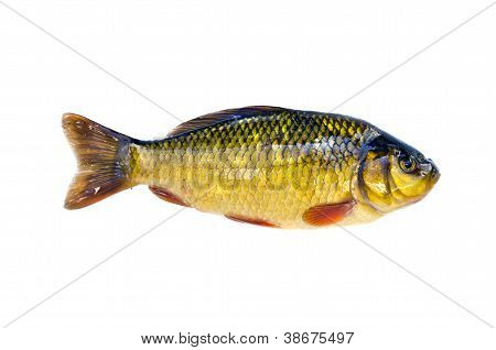 Fish Crucian Carp (carassius Carassius) Isolated On White