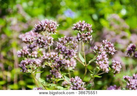 Wild Marjoram Blossoms In Summer Garden