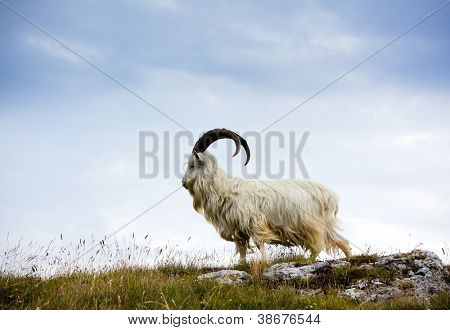 Cashmere goat at Great Orme, North Wales