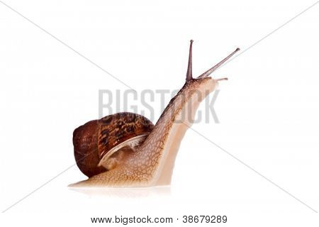 Garden snail looking up isolated on a white background