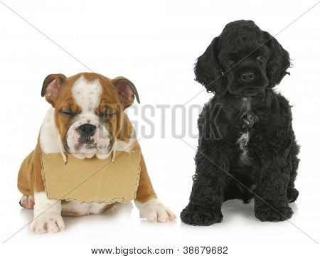 two puppies - cocker spaniel and english bulldog puppy with sign around neck  - 7 weeks old