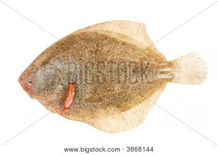 Brill Plattfische
