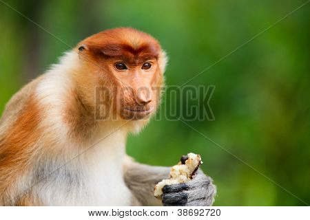 Young male proboscis monkey on Borneo island in Malaysia