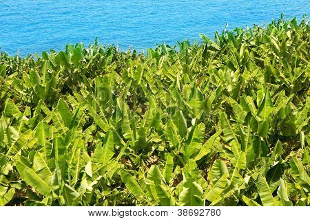 Canarian Banana plantation near the ocean in La Palma Canary Islands