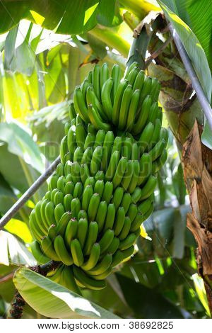 Canarian Banana plantation Platano in La Palma Canary Islands