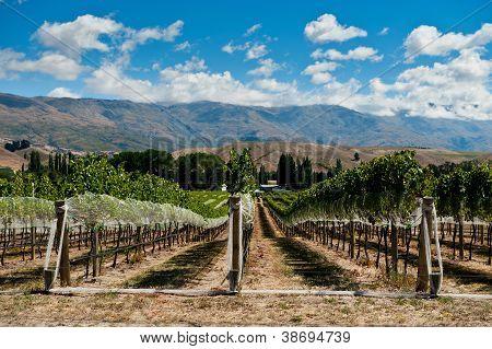 New Zealand Vineyard