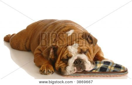 Bulldog With Slipper