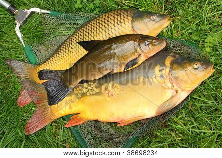 Fish on fishing net. The Common Carp ( Cyprinus Carpio ) and The Tench (Tinca Tinca). In Central Europe ( Poland and Czech Republic ), fish is a traditional part of a Christmas Eve dinner.