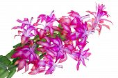 stock photo of peyote  - Blossoms pink exotic flower Peyote  - JPG