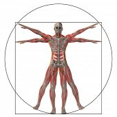 High resolution Vitruvian human or man as a concept,metaphor or conceptual 3d anatomy body for biolo