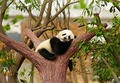 stock photo of panda  - Sleeping giant panda baby - JPG