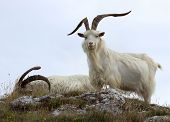 stock photo of cashmere goat  - Cashmere goats at Great Orme - JPG