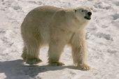 stock photo of polar bears  - taken at cochrane ontario this is a 24 year old male - JPG
