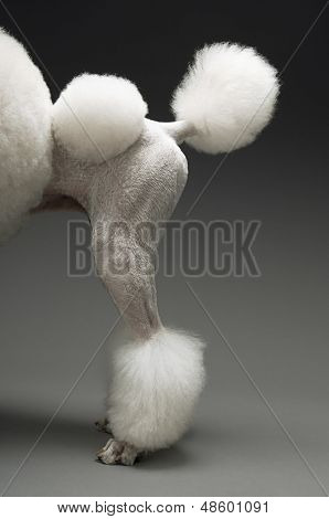 Haunches of Standard White Poodle on grey background