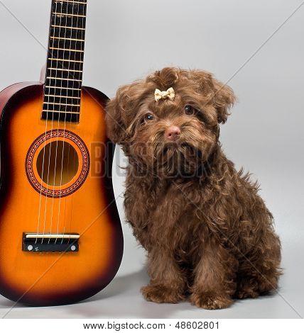 Bolonka Zwetna With Guitar
