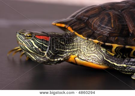 Walking Water Turtle