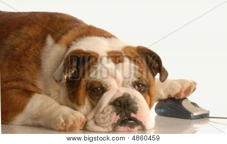 Bulldog With Computer Mouse