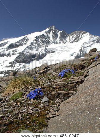 Gentiana verna - Spring Gentian under Grossglockner peak