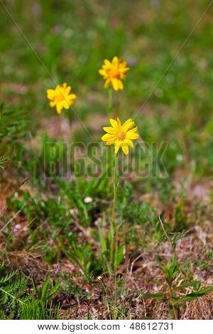 Arnika flowers