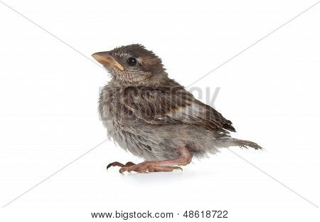 Close Up Of Nice Little Sparrow