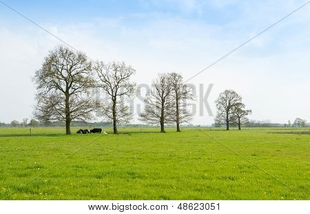 Ruminating Cows Lying Together Under The Trees