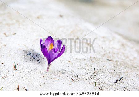 Lila Krokus Blüte auf dem Schnee. Karpaten, Ukraine, Europa. Beautywelt.