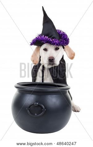 Halloween witch Labrador retriever puppy dog isolated on white
