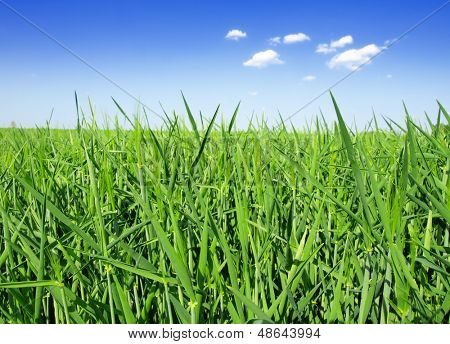 yound  wheat field