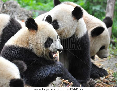 Hungry giant panda bear eating bamboo shoots