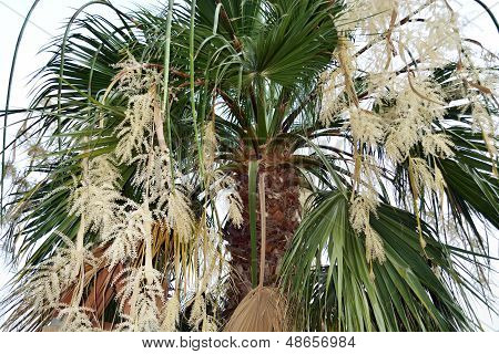 Blooming Palm