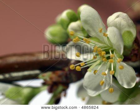 Plum Blossom Extreme Closeup - (prunus Cultivar)