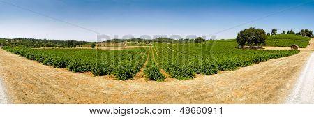 Vineyard, Shenandoah Valley, California,