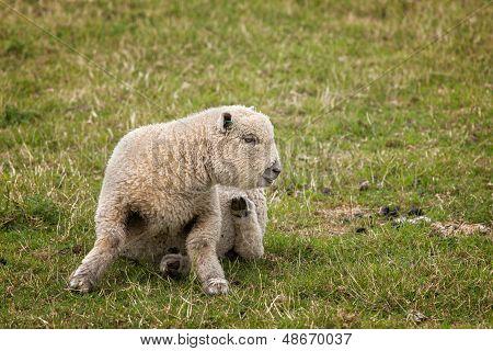 Itchy Lamb