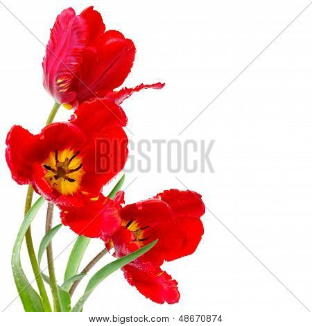Spring Red Tulips Isolated On White
