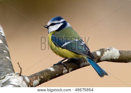 The Blue Hood (parus Caeruleus)